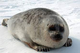 Marine mammals ringed seal 01