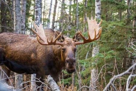 Moose Viewing at Kincaid Park