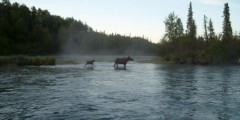 Moose Viewing at the Kenai River Estuary
