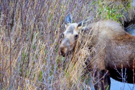 Moose Viewing at Potter Marsh