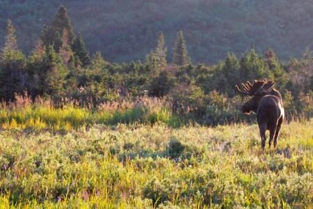 Moose Viewing at Powerline Pass