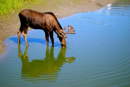 Moose Viewing in Portage Valley & Turnagain Arm