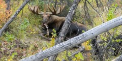 Moose Viewing near the Chena River and Fairbanks