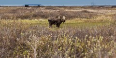 Moose Viewing near Nome