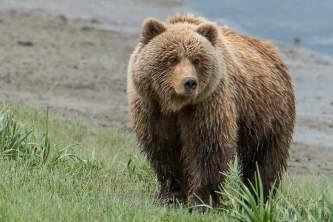 Alaska bear camp bear 13 great alaska bear camp
