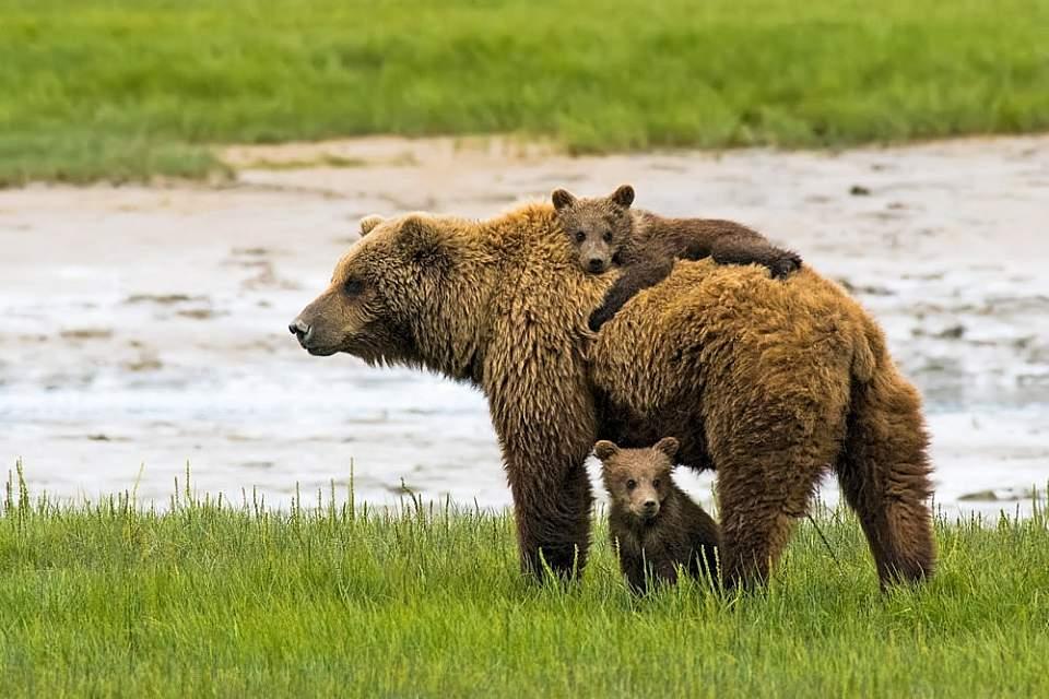 Bear cub rides on sow