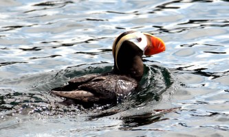 Kenai Fjords Glacier Lodge puffin A2019