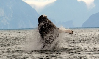 Kenai Fjords Glacier Lodge Humpback C2019