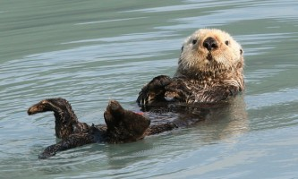 Kenai Fjords Glacier Lodge Sea otter D opt2019