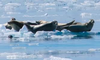 Kenai Fjords Glacier Lodge flickr seals2019