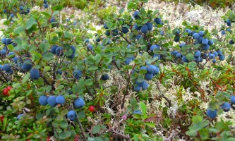 Caribou lodgeblueberries