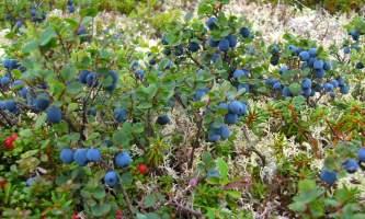 Caribou lodgeblueberries
