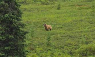 Caribou lodgegriz in back yard
