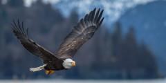 Bald Eagle Viewing Along Turnagain Arm
