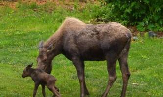 Paulas place moose 0615 a