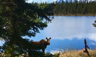 Moose alaska tonglen lake lodge
