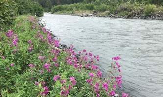 Image 4 Fireweed along 20 Mile River