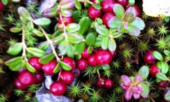 Alaska Lingonberries 2015 2 kahiltna birch works