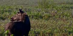 Copper River Highway Moose Wendy Ranney alaska cordova trip ideas